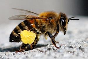 abeille_pollen