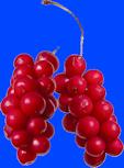 schizandra_fruits